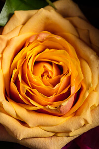 04.1957 Yellow Rose Art Photograph