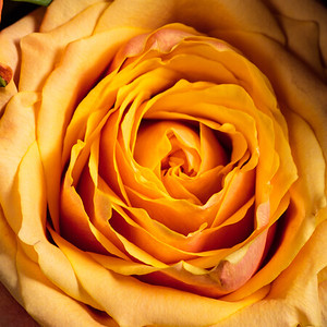 05.1957 Yellow Rose Art Photograph