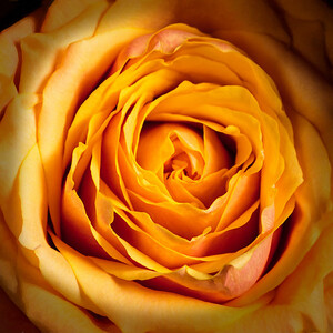 02.1957 Yellow Rose Art Photograph