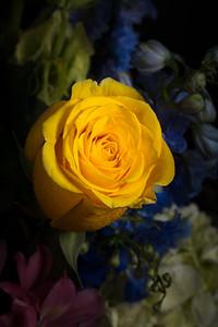 01.1957 Yellow Rose Art Photograph