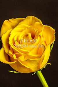 Yellow Rose Image Canvas Print 1625.02
