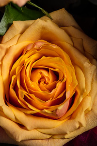 03.1957 Yellow Rose Art Photograph