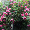Antique bourbon Rose<br />  Zephirine Droughin