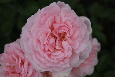 Rosa David Austin 'Eglantyne'