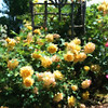 Oregon Garden yellow roses and trellis