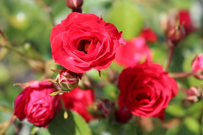Rosa 'Meidiland Scarlet' (red)