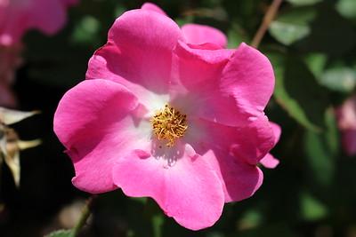 Rosa x 'Nearly Wild'