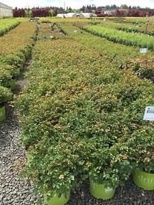 Rosa gc  'Drift Apricot' (apricot) #3