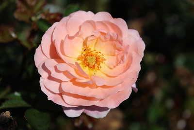 Rosa gc  'Drift Apricot'