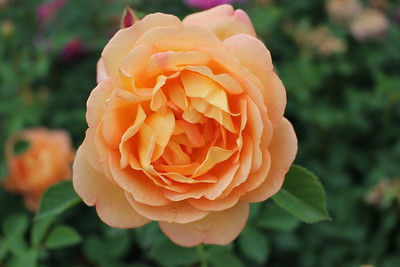 Rosa David Austin 'Lady of Shalott'