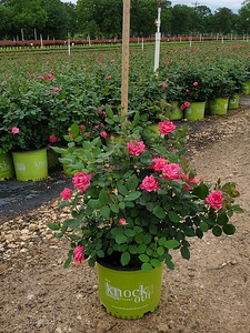 3g Double Pink Knock Out Rose