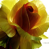 Big yellow rose 3