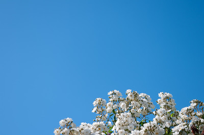 White roses and blue sky background