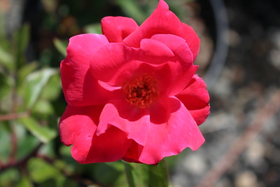 Rosa sb  'Knockout' (red)