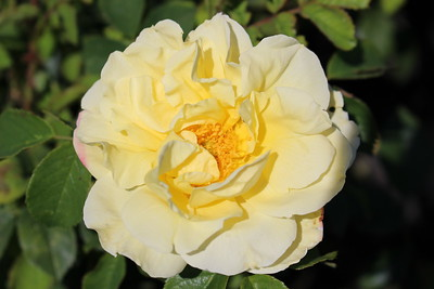 Rosa sb  'Topaz Jewel' (yellow)