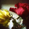 Shadowy red and yellow roses