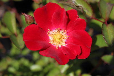 Rosa 'Meidiland Red'