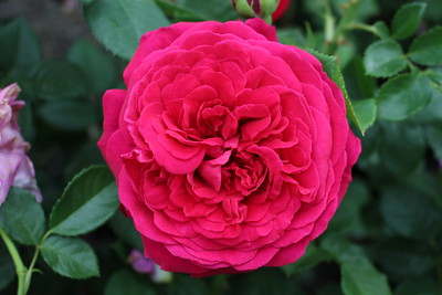 Rosa David Austin 'Tess of The d'Urbervilles' (red)