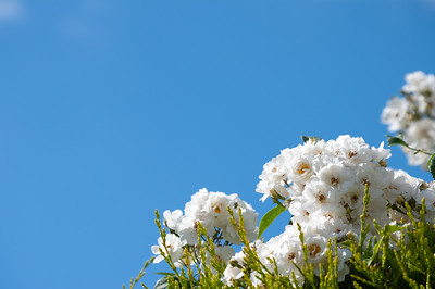 White roses and blue sky