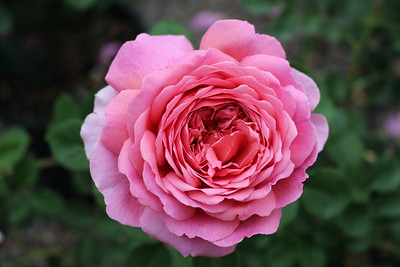 Rosa David Austin 'Princess Alexandra of Kent'