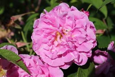 Rosa rugosa 'Therese Bugnet' (pink) #5
