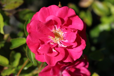Rosa gc  'Roseberry Blanket' (pink)
