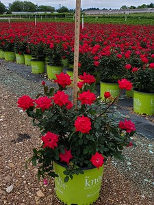 3g Double Red Knock Out Rose