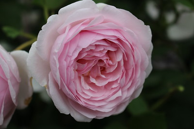 Rosa David Austin 'Olivia Rose'
