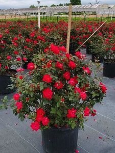 7g Double Knock Out Rose