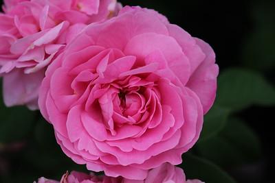 Rosa David Austin 'Gertrude Jekyll' (2)