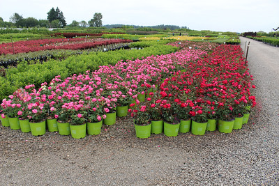 Rosa sb  KNOCKOUT Double Red #3, KNOCKOUT Doubke Pink' #3