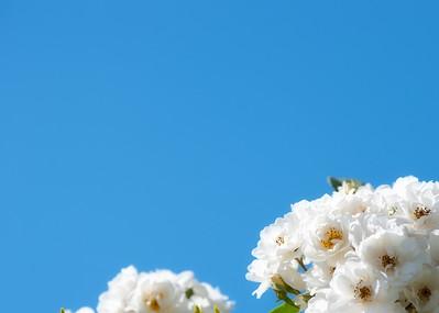 Dreamy white rose