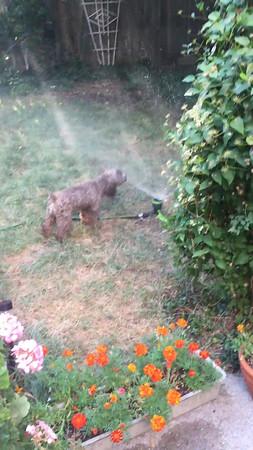 Rosie cooling off in the sprinkler!