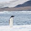 A curious Adelie Penguin on ice near the Cape Bird colony