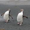 Juvenile Royal Penguins strutting their stuff!