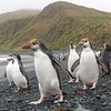 If you sit quietly Royal Penguins can be very inquisitive