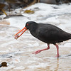 Feeding time for a Variable Oystercatcher