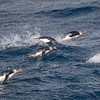 Royal Penguins leaving for a fishing trip