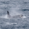 We saw a group of three Antarctic Type A Orca off the coast of Macquarie Island
