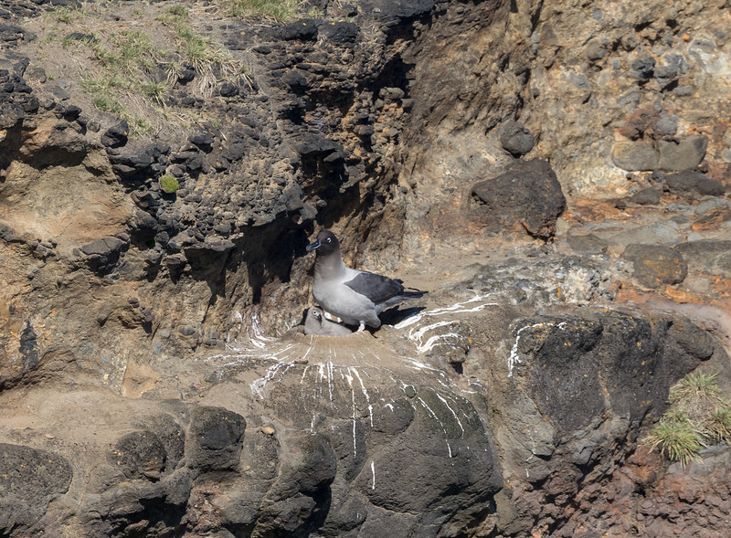 A light-mantled Sooty Albatross with chick on the north coast of Enderby Island