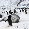 There were some Weddell Seals loafing around in the colony, much to the apparent disapproval of this penguin!