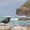 A Variable Oystercatcher posing in Curio Bay on South Island