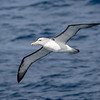 Salvin's Albatross also breed on the Snares as well as other subantarctic islands