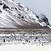 Adelie Penguins were nesting high up on the island, they nest up to 200 metres above sea level
