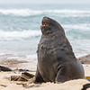 A male New Zealand (Hooker's) Sea Lion on the beach at Waipapa Point on South Island