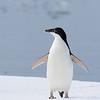 A juvenile Adelie Penguin - it still has a white chin