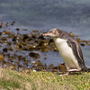 A juvenile Yellow-eyed Penguin on Enderby Island
