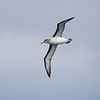Buller's Albatross are beautiful birds nesting only on the Snares and Solander Islands