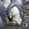 It was hatching time at the King Penguin colony
