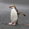 Royal Penguins also have massive bills